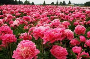pink peonies, peonies field